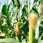 Fat vs. Corn: Time to Re Evaluate – Dr. Tom Jenkins