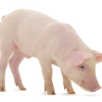 The Effects of Feeding Omega-3's in Swine- Dr. Michael Azain