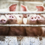 Feeding Value of Fat for Swine: Concepts and Practice- Dr. Eric van Heugten